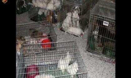 Presi trafficanti di cuccioli, ne avevano 65 nel bagagliaio VIDEO