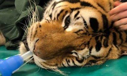 Ospedale Veterinario Lodi opera tigre di 200 kg