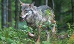 Un branco di lupi avvistato nelle campagne piacentine a due passi dal basso Lodigiano VIDEO