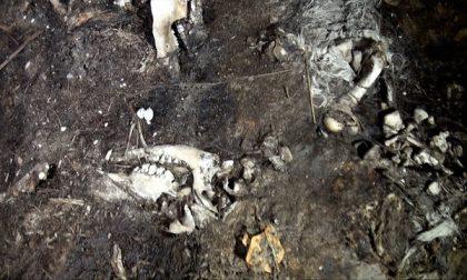 Orrore in allevamento: carcasse smaltite illegalmente VIDEO