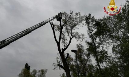 Alberi pericolanti a Lodi: intervengono i Vigili del Fuoco FOTO