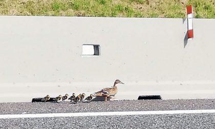 Mamma germana con otto piccoli a spasso in autostrada VIDEO e FOTO