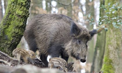 Cinghiali, in Lombardia abbattimento in crescita. 4 uccisi nel Lodogiano