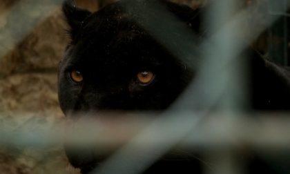 """Aiuto, ho visto una pantera"": avvistato il felino nel Cremonese"
