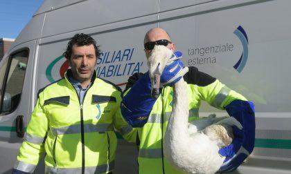 Cigno reale ferito soccorso lungo Teem  FOTO