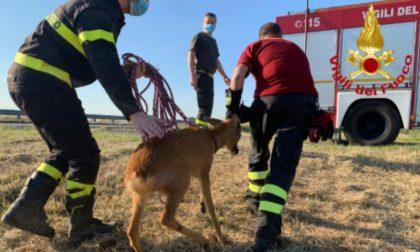 Un capriolo rimane incastrato in un fosso pieno d'acqua, a salvarlo ci pensano i Vigili del fuoco