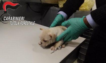 Lodi: traffico illecito di cuccioli di cane dall'Est Europa. Quattro persone arrestate