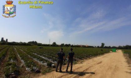 Caporalato nei campi: cento lavoratori a raccogliere fragole 9 ore al giorno per 4,5 euro all'ora VIDEO