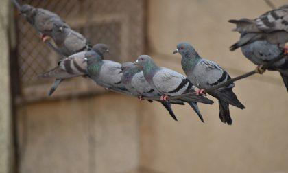 """Lotta ai piccioni: arruolati 600 cacciatori autorizzati al """"controllo"""", 12 a Lodi"""