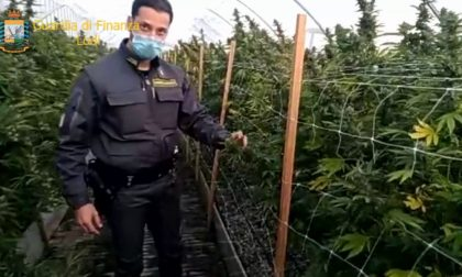 Sequestrata la più grande piantagione di marijuana mai vista in Italia: 115.800 piante VIDEO