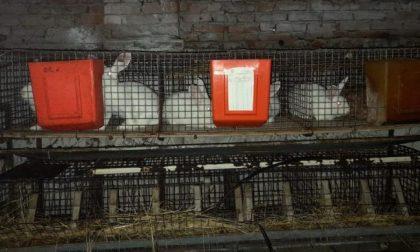 Maltrattamento di animali, sequestrato allevamento di conigli: vivevano tra gli escrementi e senza cibo