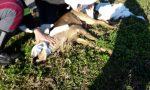 Capriolo ferito nelle campagne lodigiane salvato dalla solidarietà di volontari e Polizia