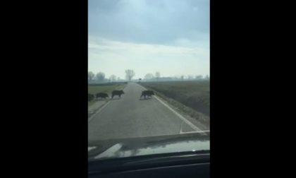 L'incredibile video della folle corsa di un branco di cinghiali che taglia la strada a un automobilista