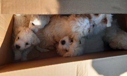 Il video dei cuccioli prigionieri in scatole di cartone sin dalla Romania