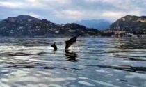 Lo spettacolare video dei delfini che giocano nel mare della Liguria