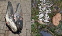 Quanto può mangiare un pesce siluro? Le incredibili immagini degli esemplari pescati nell'Adda
