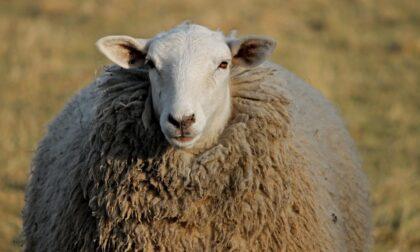 Macella una pecora nel cortile di casa, denunciato dai vicini inorriditi